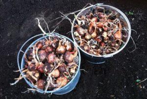 onions2012